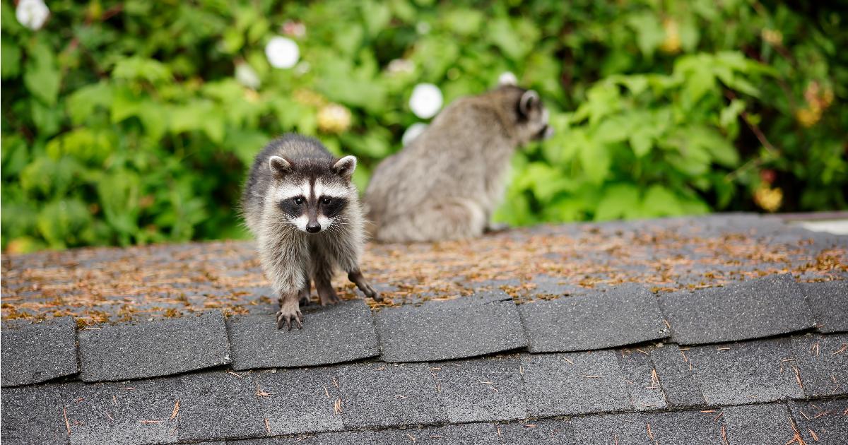 animal removal dallas