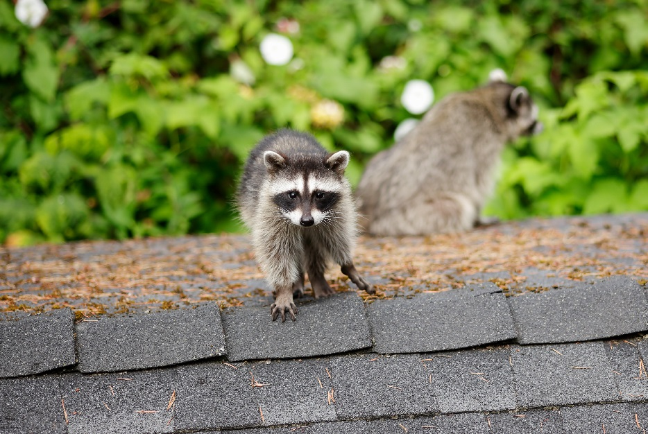 racoon animal removal dallas